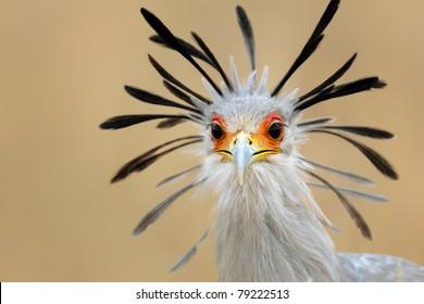 Close-up portrait of a secretary bird - Sagittarius serpentarius