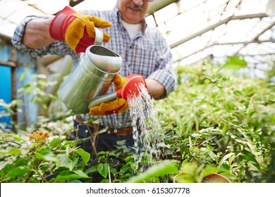 Closeup portrait of senior  man taking care of trees and shrubs in glasshouse, watering plants using metal can