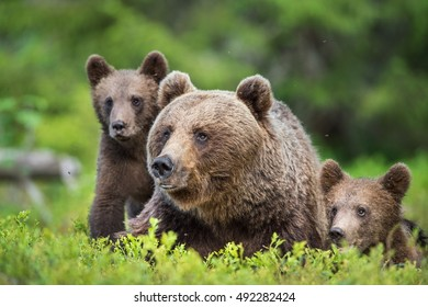 Closeup portrait of She-Bear and Cubs of Brown bear (Ursus Arctos Arctos) in the summer forest. Natural green Background