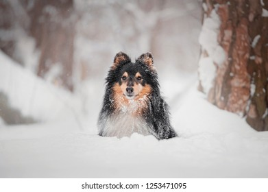 close-up portrait of the sheltie dog in snow