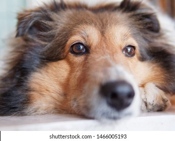 Closeup portrait of Shetland sheepdog, cute adult domestic animal, best friend for human, beautiful pedigreed dog face, close up black eyes with nose, funny dog expression.