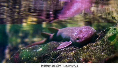 closeup portrait of a short tail nurse shark laying on a rock, carpet shark specie, Vulnerable animal specie from the Indian ocean