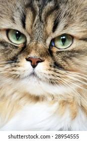Close-up portrait of Siberian cat