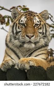Closeup portrait of a siberian tiger.