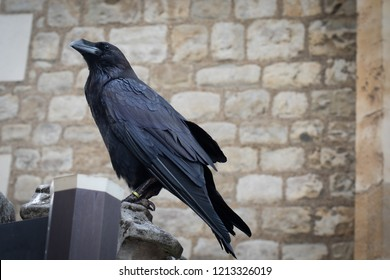 Closeup portrait of sitting black raven in the Tower of London, UK. According to a superstition at least six ravens must protect the Crown and the tower