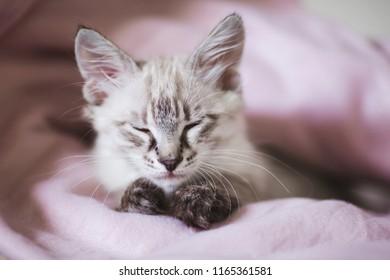 Closeup portrait of sleeping cute kitten with gray hair. SIberian Neva Masquerade kitten.