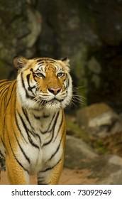 Close-up portrait of a slobbering Siberian Tiger