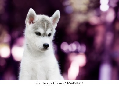 A closeup portrait of small Siberian husky puppy. A young grey & white female husky bitch sits, she has brown eyes. Background is violet and purple.