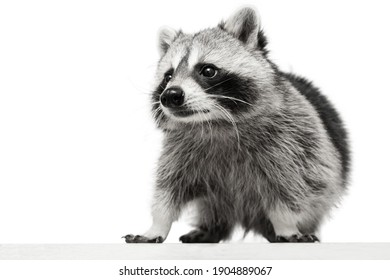 Closeup portrait of small white grey raccoon isolated over white background.