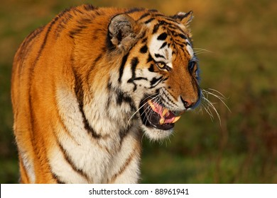 Closeup portrait of a snarling Siberian tiger