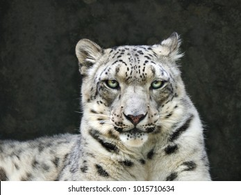 Closeup Portrait of Snow Leopard Looking Right at You