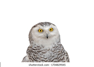 Close-up Portrait of a Snowy Owl