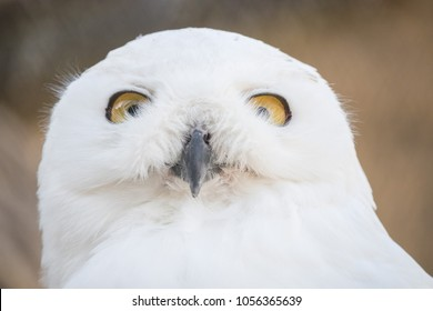 Closeup portrait of a snowy owl, grimly looking out for prey