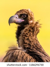 Close-up portrait of spectacular wild scavenger Eurasian black vulture, or Monk vulture, or Cinereous vulture (Aegypius monachus) standing in nature habitat with beautiful clear yellow background.