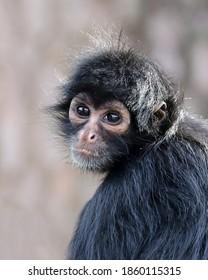 closeup portrait of Spider monkey
