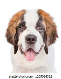 closeup portrait of a St. Bernard puppy. isolated on white background