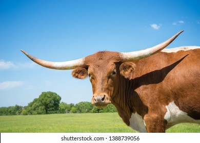 Closeup portrait of Texas longhorn on spring pasture. Blue sky background with copy space.