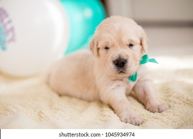 Close-up portrait of three weeks old golden retriever puppy with green ribbon lying on the blanket on baloons background