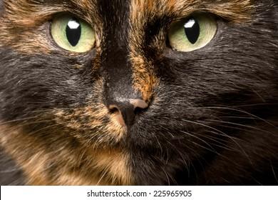 close-up portrait of tortie cat