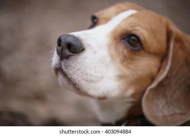 closeup portrait of tricolor beagle dog, focus on the nose