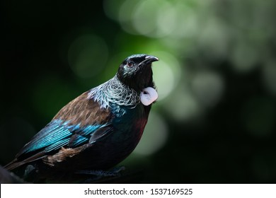 Close-up portrait of Tui bird on Tiritiri Matangi Island