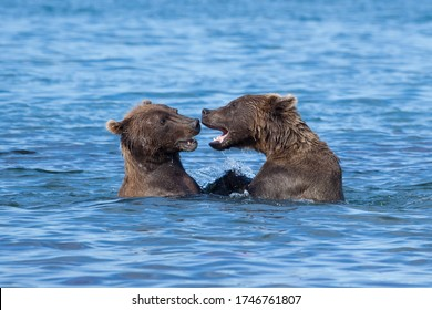 Close-up portrait of two wild growling bears are in a blue lake. Bears stand in the water .
