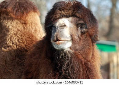 Close-up portrait of a two-humped camel