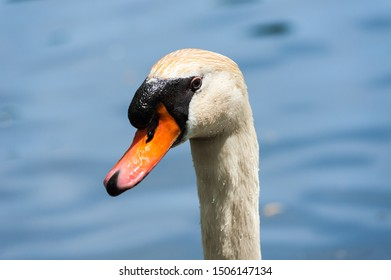 Close-up portrait of wet mute swan head and face with water droplets on feathers, against blurred background.