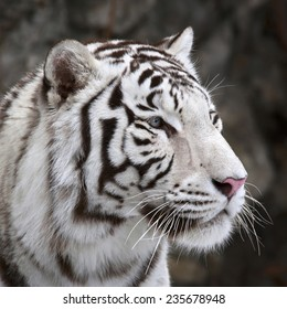 Closeup portrait of white bengal tiger on dark background. The most dangerous beast shows his calm greatness. Wild beauty of a severe big cat.