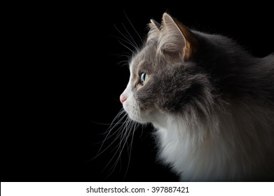 Close-up portrait of white and grey cat on black background looking left