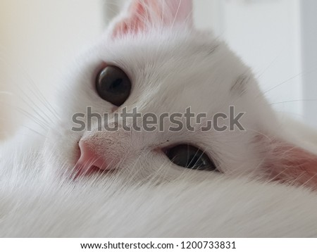 fa9017010b Closeup Portrait White Kitten Turkish Angora Stock Photo (Edit Now ...