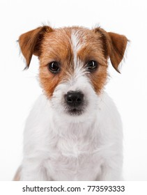 close-up portrait of a white puppy Jack Russell Terrier isolated white background