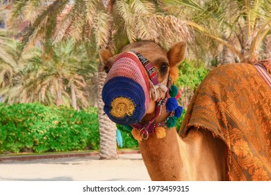 Closeup portrait of white purebred friendly little Arabian or the Somali camel colt dromedary, wearing festive decorative protective mask harness taken in the United Arab Emirates
