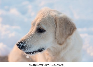 Close-up portrait of white retriever dog in winter background