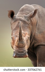 Close-up portrait of White Rhinoceros; Ceratotherium Simum; South Africa