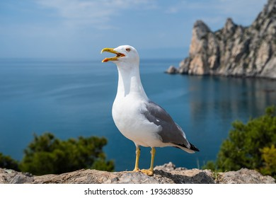 Close-up portrait of white Seagull with wide open yellow beak. The Larus Argentatus or the European herring gull. One of the best known of all gulls of Europe