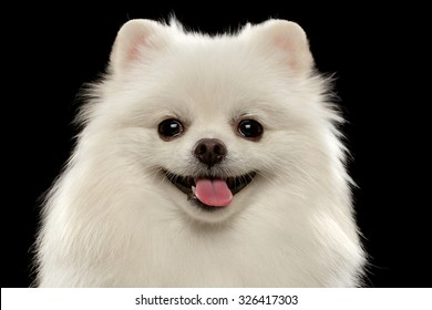 Closeup Portrait of  White Spitz Dog on Black Background