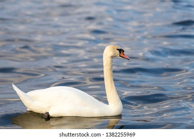 Close-up portrait of a white Swan on the water.