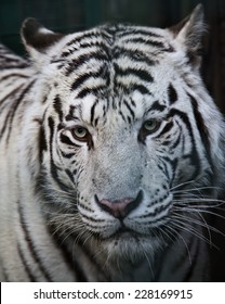 Closeup portrait of a white tiger.
