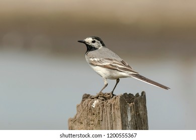 Closeup portrait of a White Wagtail (Motacilla alba) bird with white, gray and black feathers. The White Wagtail is the national bird of Latvia