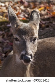 Close-up portrait of white-tailed female deer with background of colorful autumn leaves/Doe Close-up.