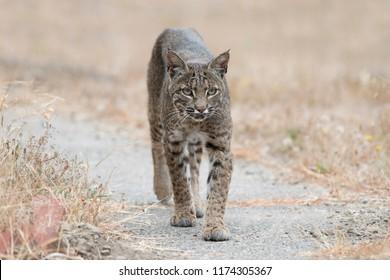closeup portrait of a wild bobcat