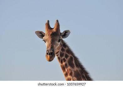 Closeup portrait of wild giraffe in Etosha National Park in Namibia