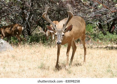 Closeup portrait of a wild male black-tailed deer in the woods, enjoying life and looking for something to eat and to stay away from preditors