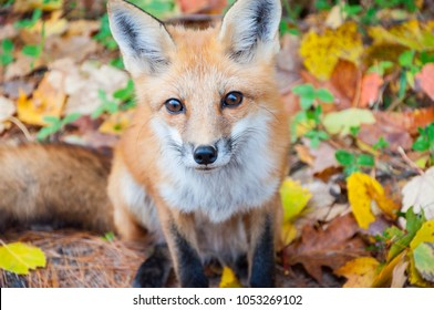 Closeup portrait of a wild red fox (Vulpes vulpes) begging for food on road. Autumn time in Algonquin Park, Ontario, Canada