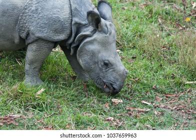 Closeup portrait of wild rhinoceros in Chitwan National Park in Nepal