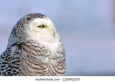Closeup Portrait of wild Snowy Owl , against a blue sky background. ( Nyctea scandiaca )