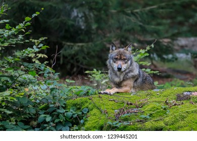 Close-up portrait of the wolf in a natural environment of a green forest. European grey wolf, Canis lupus.