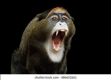 Close-up Portrait of Yawn De Brazza's Monkey on Isolated Black Background, show teeth