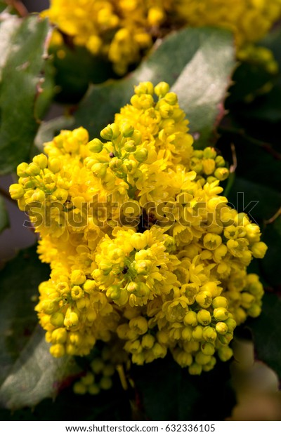 close-up Portrait of a yellow common mahonia, one of the first springtime blossoming plants in germany